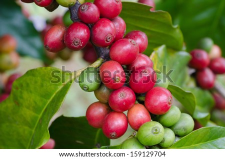 Coffee beans on trees - stock photo