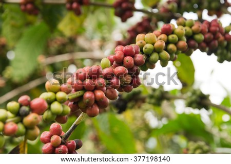 coffee beans on twig - stock photo