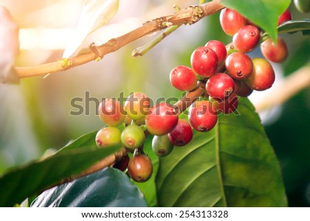 Coffee beans ripe on tree - stock photo