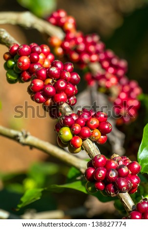 Coffee beans ripening on a tree - stock photo