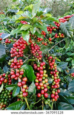 Coffee beans ripening on a tree. - stock photo
