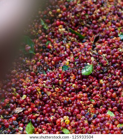 Coffee beans ripening on tree in North of thailand - stock photo
