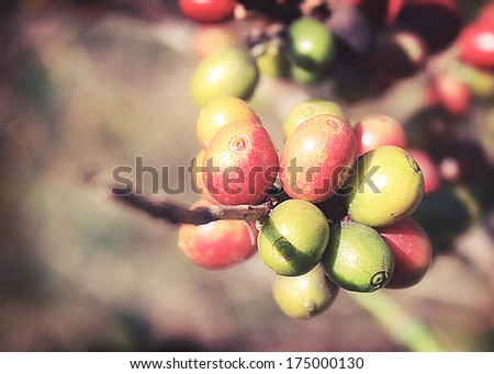 Coffee beans ripening on tree in North of thailand ,Vintage. - stock photo