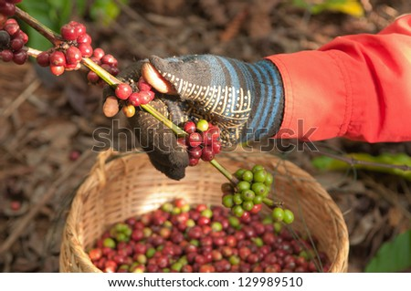 coffee berries beans harvested by hand - stock photo