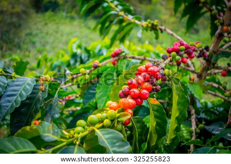 Coffee berries in farm and plantations in Manizales, Colombia