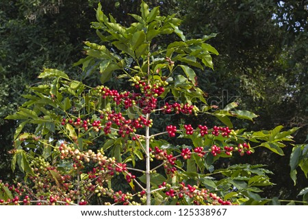 coffee berries on a branch .Coffee farm