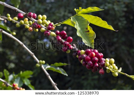 coffee berries on a branch . Coffee farm - stock photo