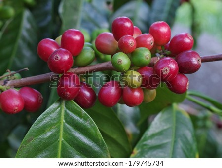 Coffee berries on branch. Location: a coffee plantation in Boquete, Panama (Central America). Boquete is known worldwide for the quality of the coffee that it's grown there. - stock photo
