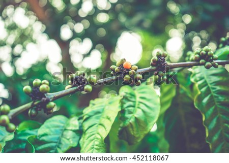 Coffee berries on the tree with bokeh background