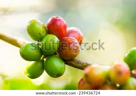 Coffee berry robusta in Laos crop - stock photo