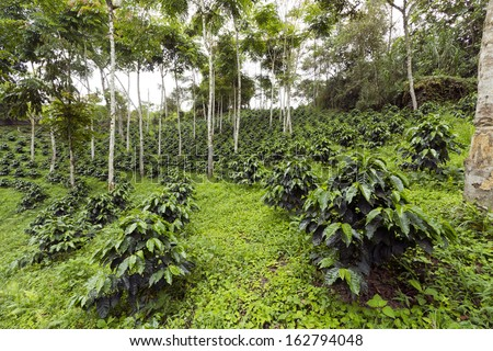 Coffee bushes in a shade-grown organic coffee plantation on the western slopes of the Andes in Ecuador - stock photo