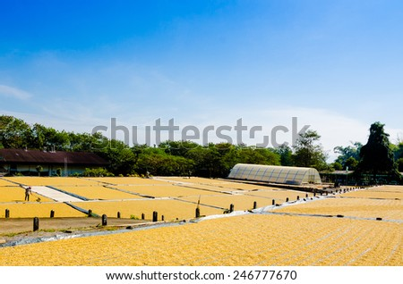 Coffee drying in the sun, coffee production at Doi Tung, Chiang Rai, Thailand - stock photo