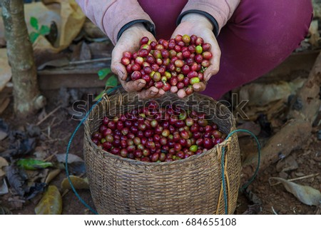 Coffee farmer hands holding freshly picked red ripen arabica coffee berries cherries in bamboo basket at coffee plantation