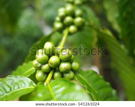 Coffee fruit on coffee tree