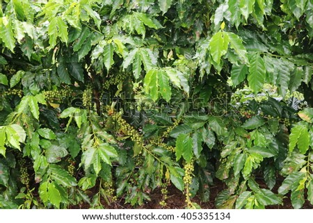 Coffee fruit, red and green fresh coffee fruit or coffee bean on coffee tree plantation at the farm - stock photo