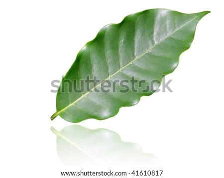 coffee leaf - stock photo