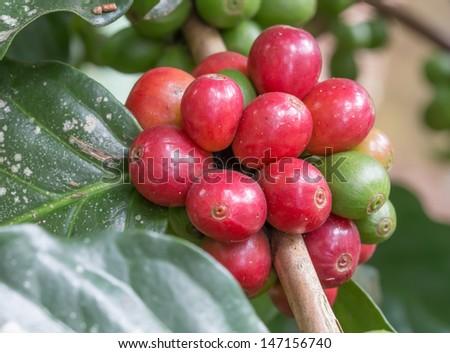coffee on tree - stock photo