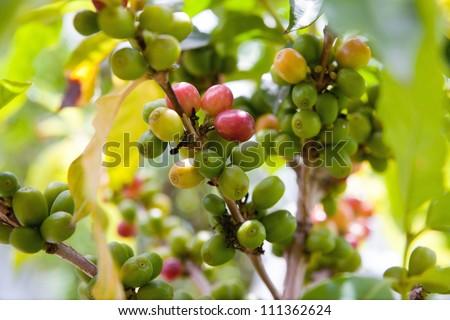 Coffee plant - stock photo
