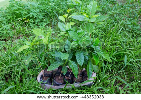 coffee plant - coffee trees in garden - stock photo