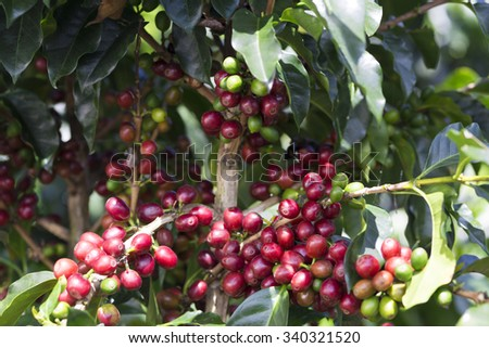 Coffee Plant. Red Coffee Beans on a Branch of Coffee Tree - stock photo