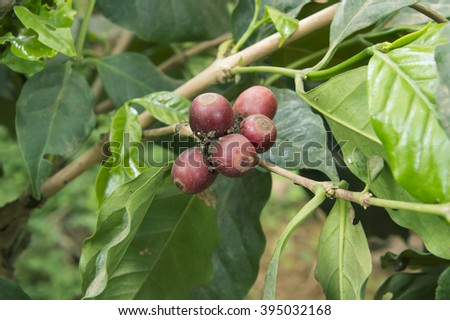 Coffee Plant. Red coffee beans on a branch of coffee tree. - stock photo
