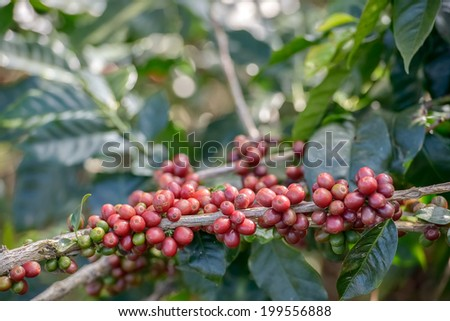 Coffee Plant. Red coffee beans on a branch of coffee tree. Branch of a coffee tree with ripe fruits ,fresh coffee Cherry name ,green leaves have bokeh background - stock photo