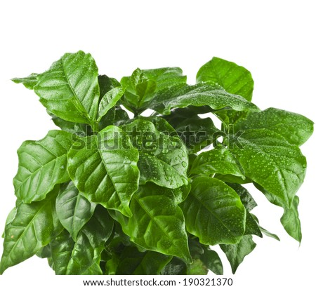 coffee plant tree growing seedling isolated on white background - stock photo