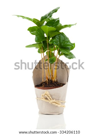 coffee plant tree in paper packaging, isolated on white background - stock photo