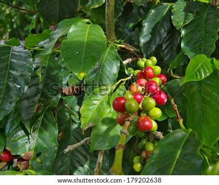 Coffee plant with berries on branch. Photo taken in Boquete, western Panama (Central America). - stock photo