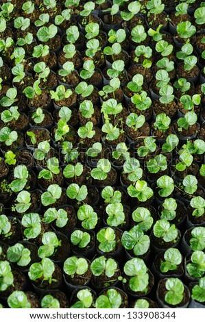 Coffee plantation - Coffee seedlings - Coffee trees - stock photo