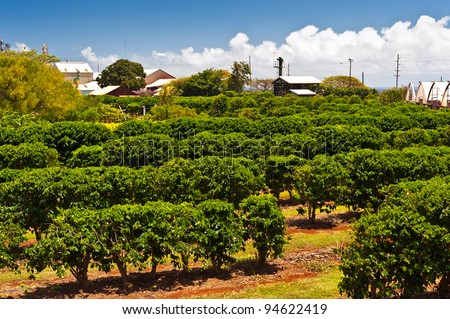 Coffee plantation in Maui, Hawaii - stock photo