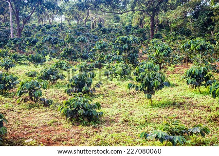 Coffee plantation on Bolaven Plateau in Laos - stock photo