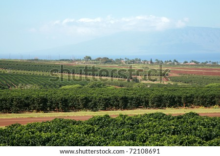 coffee plantation on Maui Hawaii - stock photo