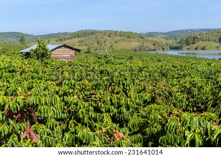 Coffee plantation or farm at highland Dalat City, Lam Dong province,  Vietnam - stock photo