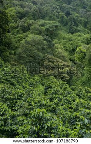 Coffee plantations in Finca Lerida, Boquete, Chiriqui province, Panama, Central America. - stock photo