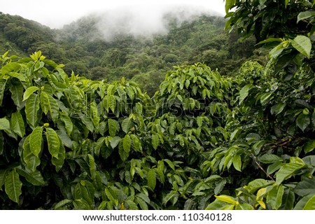 Coffee plantations in Finca Lerida, Boquete, Chiriqui province, Panama, Central America. - stock photo