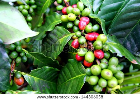 Coffee plants to mature. - stock photo