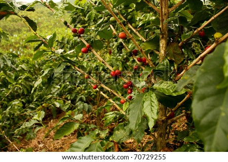 Coffee plants to mature. Colombia. Montenegro, which is nestled between mountains of the Cordillera Central, in Colombia. Zone of high quality coffee, - stock photo