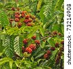 Coffee plants to mature, Java, Indonesia - stock photo