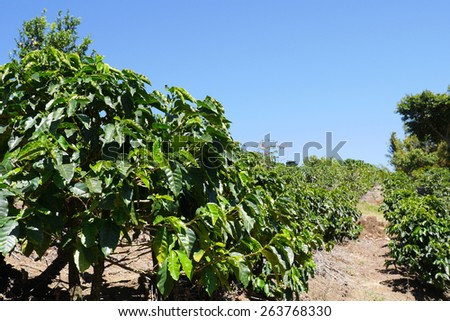 Coffee production is a major part of Costa Rica's economy.  It is grown mainly in the highlands around San Jose.  Many plantations offer tours. - stock photo