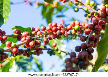 Coffee red beans fresh tree ripening in arabica organic farms Thailand.