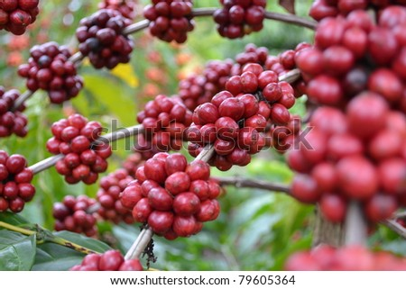 Coffee - red fruits