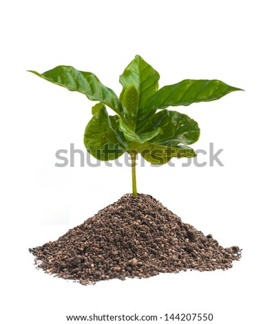 coffee sprout growing isolated on white background. - stock photo