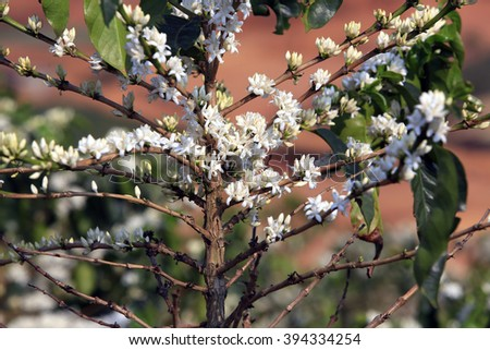 Coffee tree blossom with white color flower - stock photo
