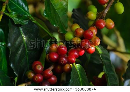 coffee tree in farm at brazil new - stock photo