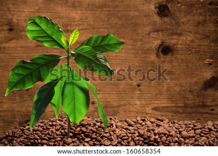 Coffee tree with coffee beans, wood background - stock photo