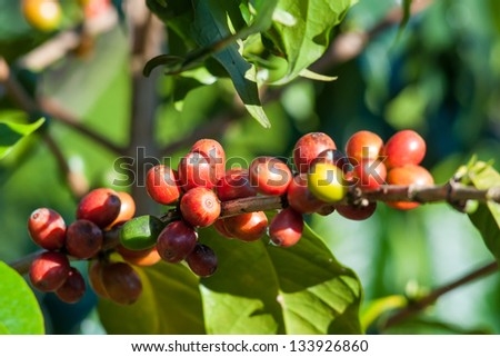 Coffee tree with ripe berries fruits  , Chiang Mai ,Thailand - stock photo