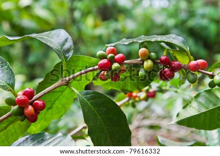 Coffee tree with ripe berries on farm, Bali island - stock photo