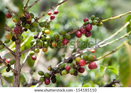Coffee tree with ripe berries on organic farm. Food and drink coffee background. - stock photo