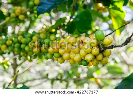 Coffee yellow green  beans fresh tree ripening in arabica organic farms Thailand.